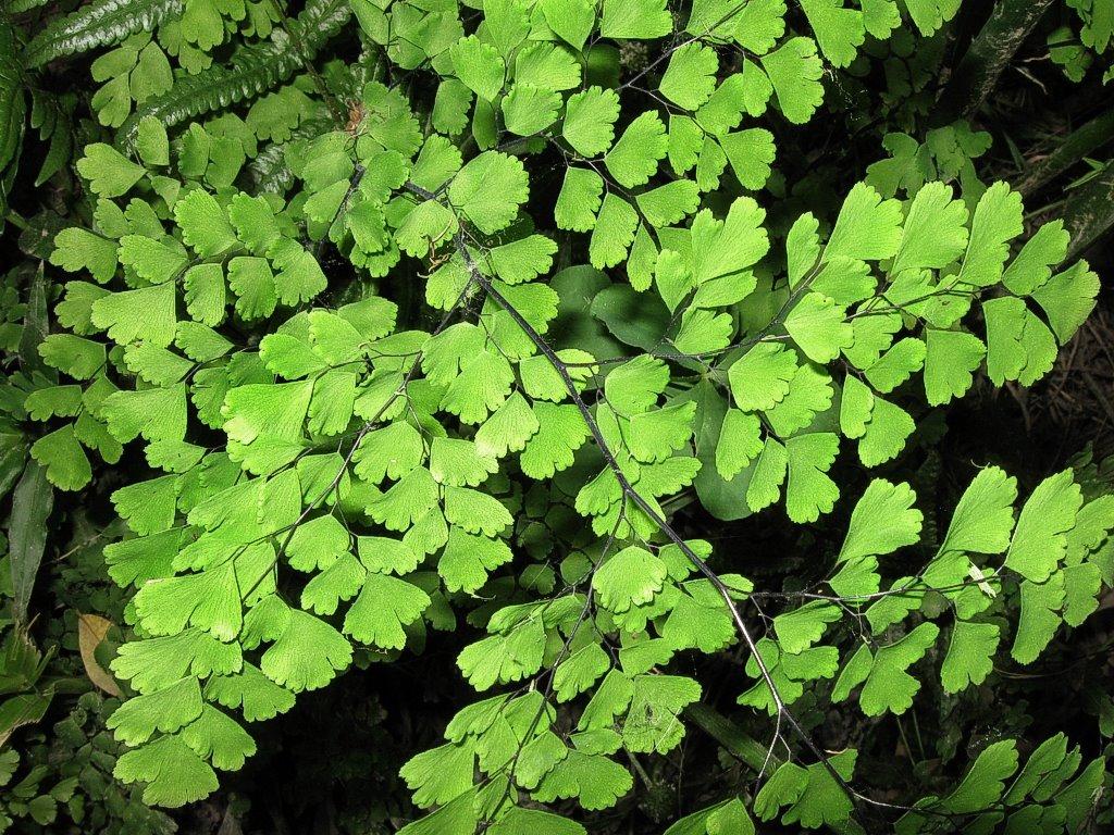 Delta maidenhair fern culantrillo adiantum raddianum - Plantas de interior nombres ...